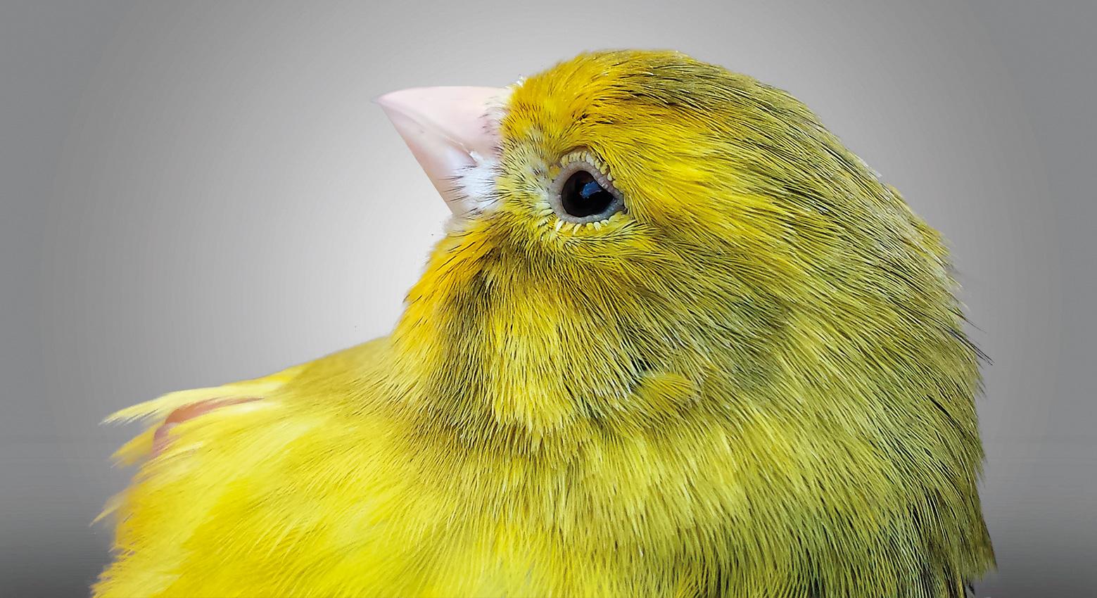 Cabeza de un ágata intenso amarillo