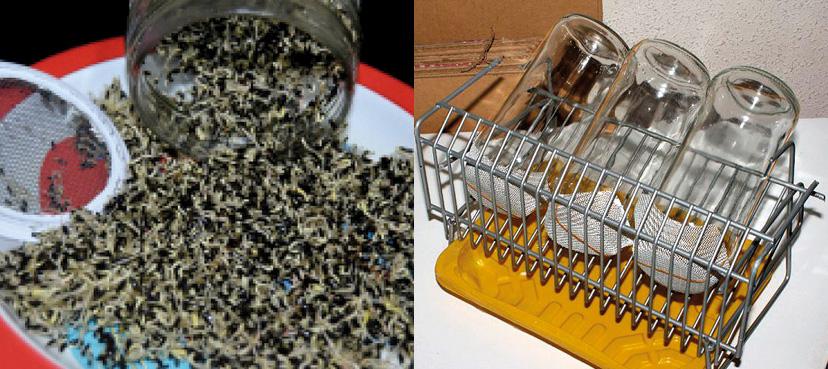 Imagen 3 – Vaciado de germinado y germinador lavado y seco.